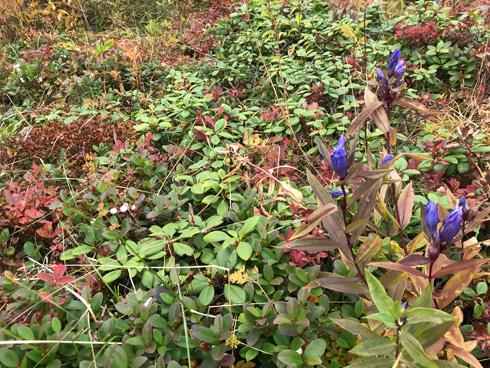 エゾオヤマリンドウとシラタマノキ