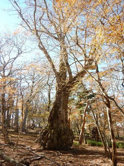 カボチャの木
