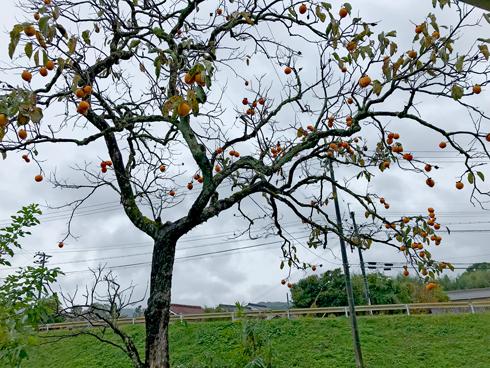 柿の木も立派